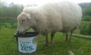 "Sheep eating from ""Leitrim Together for Yes"" bucket"
